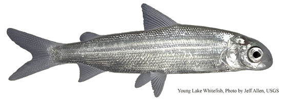 A young lake whitefish Credit: Jeff Allen (USGS)
