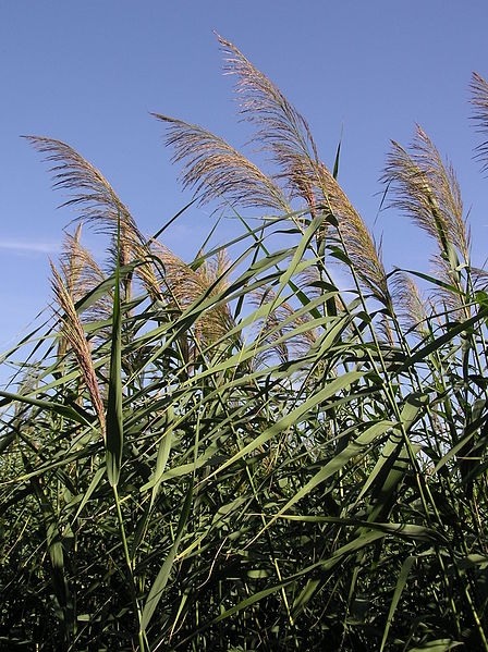 Phragmites australis is abundant throughout the Great Lakes region.
