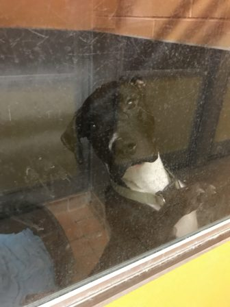 Dog in Ingham County Animal Shelter
