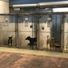 Three pit bull mixes stand in their kennels at Capital Area Humane Society. The shelter takes in more than 4,000 animals per year at its shelter in Watertown Township.