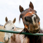 Horses stand along the fence in the pasture at the Michigan State University Horse Teaching & Research Center on Jan. 25.