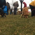 Some of the larger dogs trying to sniff out treats during the March 31, about 20 volunteers from the Ingham County Animal Shelter Fund's Easter egg hunt on March 31.