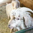 The petting farm has animals outdoors as well as inside the barn at Domino's Farms.