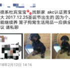 A posting in Chinese on the website WeChat from someone looking to sell a pet. Being a pet owner can create a variety of challenges for international students.