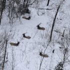 Bull elk in Pigeon River Country State Forest.