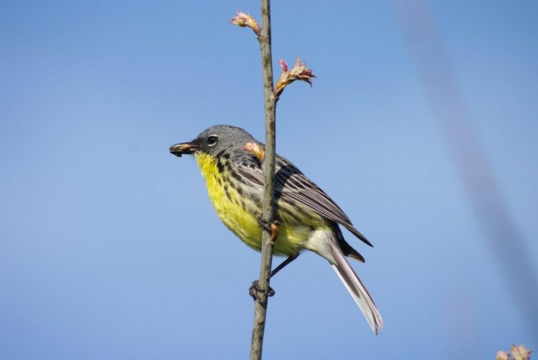 A Kirtland's warbler perches on a branch.