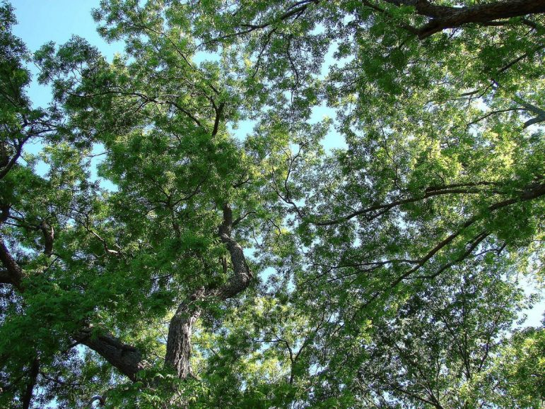 Looking up into the tree canopy.