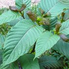 Proponents of kratom, an herb from the Southeast Asian Kratom tree, claim it can fight depression, pain, anxiety and opioid addiction. Federal and state authorities, however, consider it a health risk.