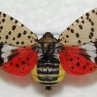 Residents are asked to be on the lookout for spotted lanternfly, an invasive pest that could make its way to Michigan.