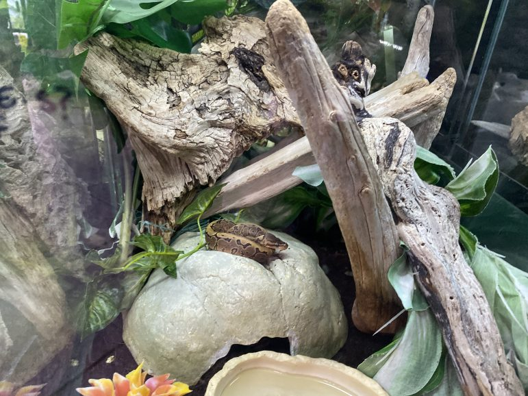Snakes in Preuss Pets range in a variety of sizes. The store Preuss Pet store carries snakes, turtles and lizards among its reptiles.