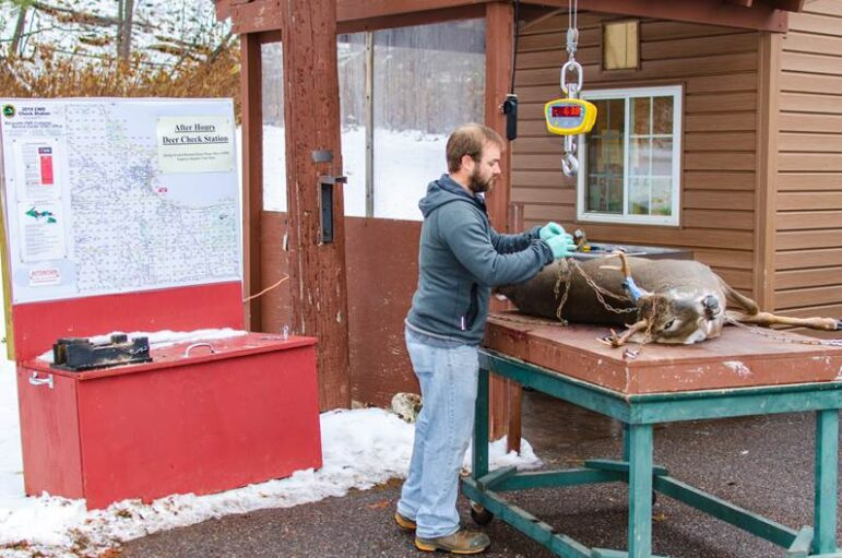 Michigan Department of Natural Resources wildlife assistant Mark Bash gets ready to weigh a buck at the Marquette deer check station.