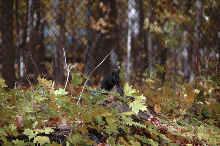 A black squirrel on the Michigan State University campus in East Lansing is an Eastern gray squirrel.