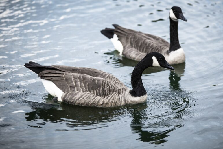 Canada geese, once on the verge of extinction, have made a comeback after adapting to the environment.