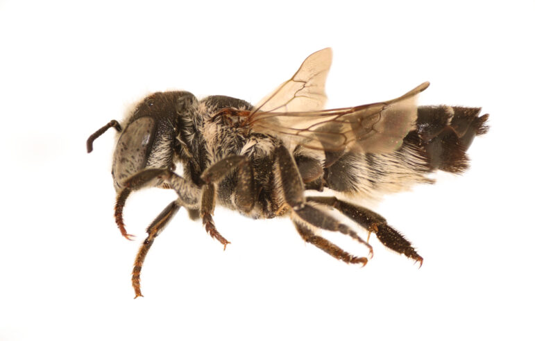 Non-native female leafcutter bee found in Chicago. The invasive species has been spreading inward from the East and West Coasts.