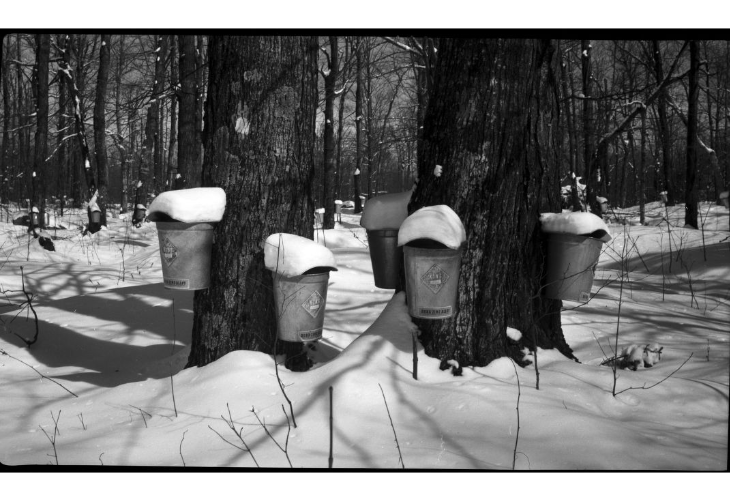 maple syrup collection buckets in the woods during winter