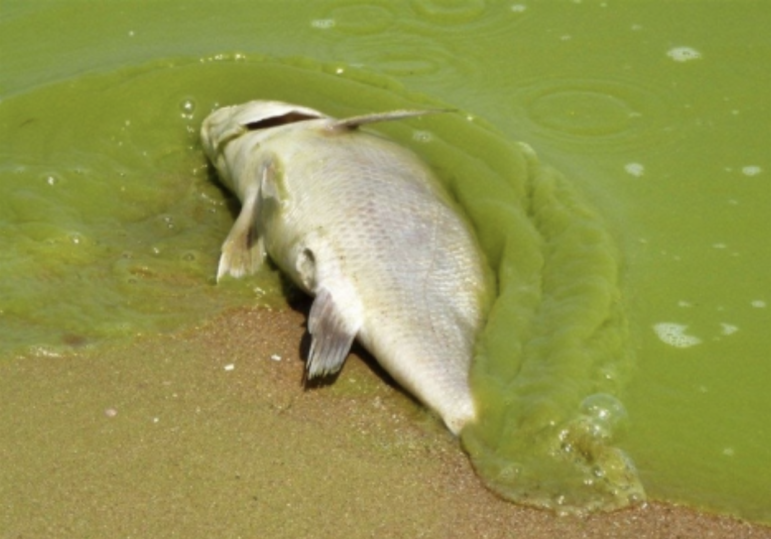 A dead fish washes up on the shores of Lake Erie, which suffers from harmful algal blooms.