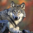 About 4,000 gray wolves are in Michigan, Wisconsin and Minnesota.