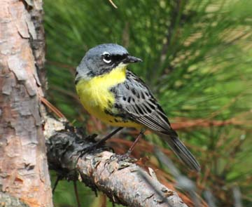The Kirtland's warbler came off the list of endangered species in 2019.