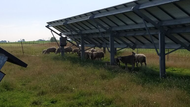 Sheep graze under the shade of solar panels in Lenawee County, an example of agrivoltaics.