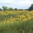 In 2018 goldenrod shimmering in the summer sun reclaims what had once been a golf course in East Lansing.