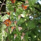 Monarch butterflies use Peninsula Point in the Hiawatha National Forest as a staging area before crossing Lake Michigan on route to Mexico.