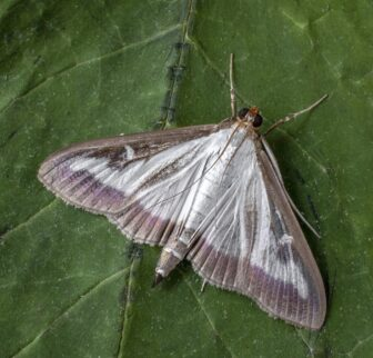 Caterpillars of the invasive moth first consume the leaves and then the bark of the plant, killing the shrub.