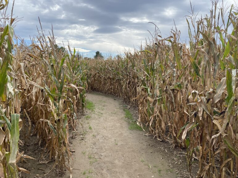Inside of the Best Maze Corn Maze. The wide paths have a drainage system underneath in order for the rain to not be a factor in the paths.
