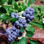 Climate change is a greater threat than insecticides to the wild bee populations that are vital to growing blueberries in Michigan, a new study finds.
